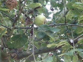 Äpfel im Schwetzinger Obstgarten
