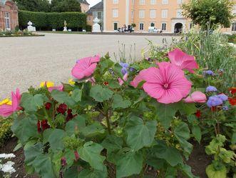 Bechermalve im Schwetzinger Schlossgarten