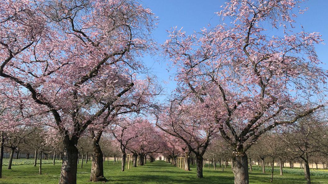 Schloss und Schlossgarten Schwetzingen, Kirschblüte am 26. März 2021