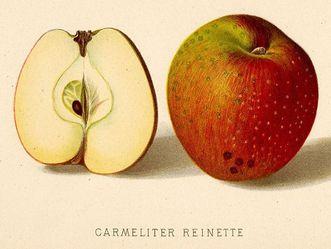 Darstellung einer Apfelsorte in einer historischen Publikation