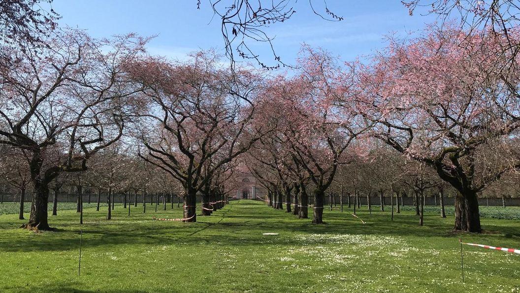 Schloss und Schlossgarten Schwetzingen, Kirschblüte am 24. März 2021