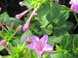 Wunderblume im Schlossgarten Schwetzingen
