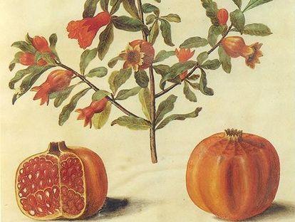 Zeichnung Granatapfel zwischen 1649 und 1659.