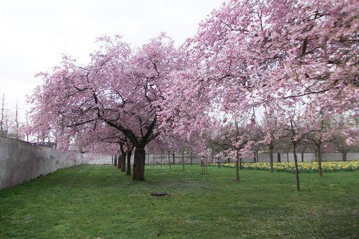 Blühende Zierkirsche im Schlossgarten Schwetzingen; Foto: Staatliche Schlösser und Gärten Baden-Württemberg, Thorsten Kögel