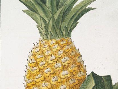 Bildnis Ananas circa 1772